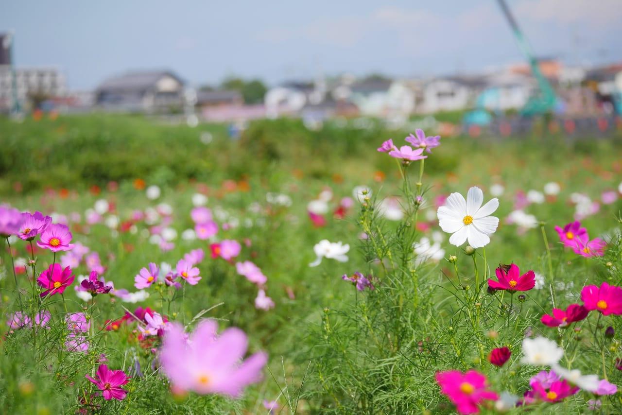 2019年イシックス馬入お花畑のコスモス