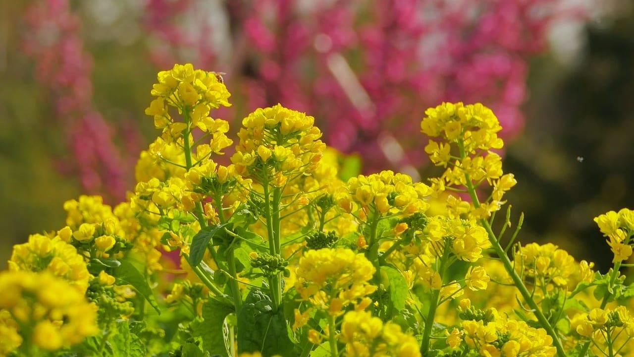 花菜ガーデンは黄色い春景色が広がっています!