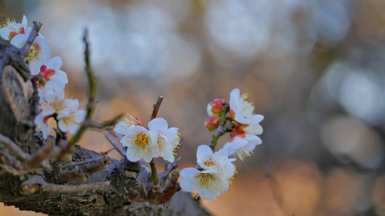 平塚市総合公園では梅、早咲きの桜が開花しています!
