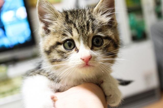 保護猫の譲渡会が神奈川県動物愛護センターで開催されます!