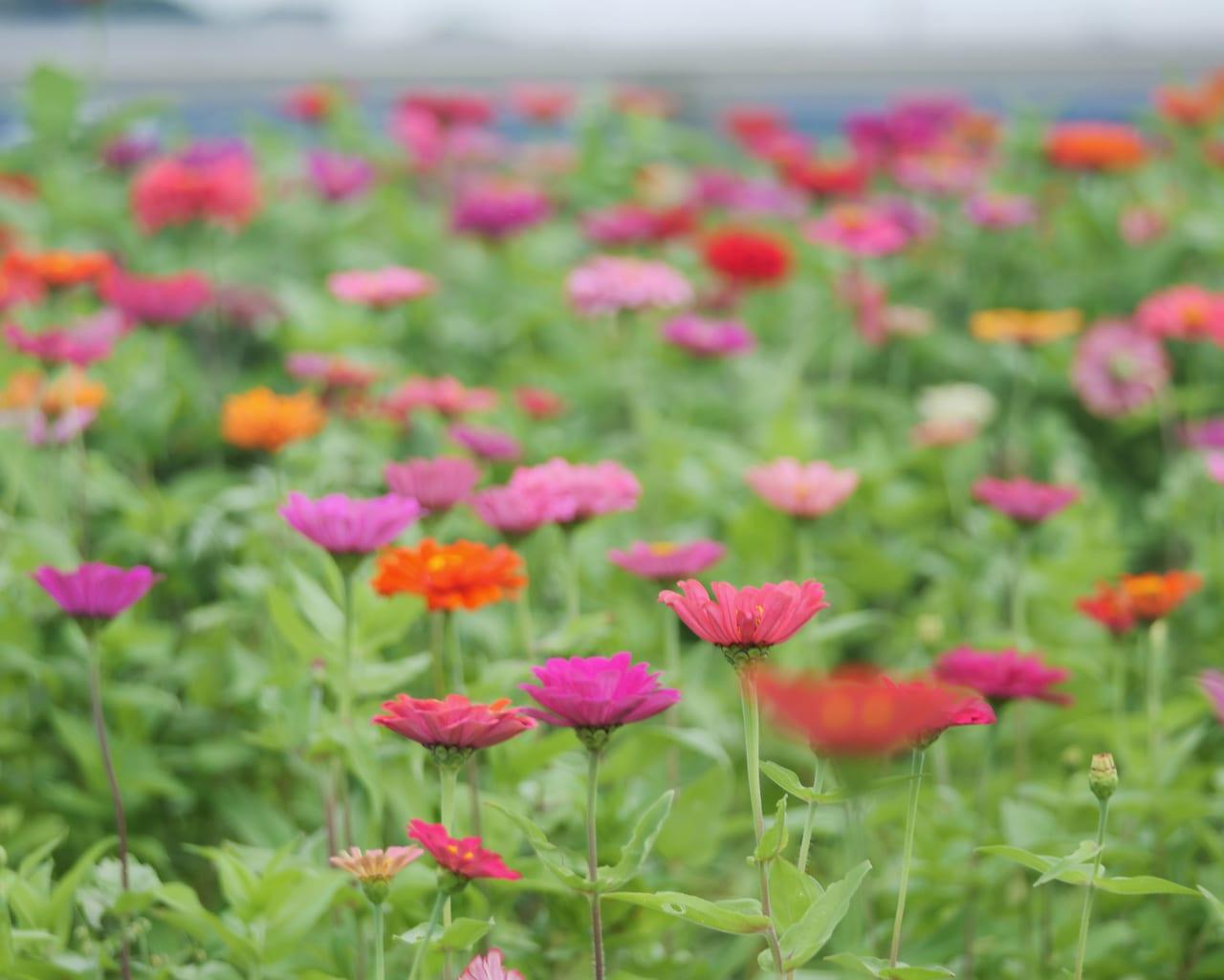 馬入のお花畑の百日草が見頃です!