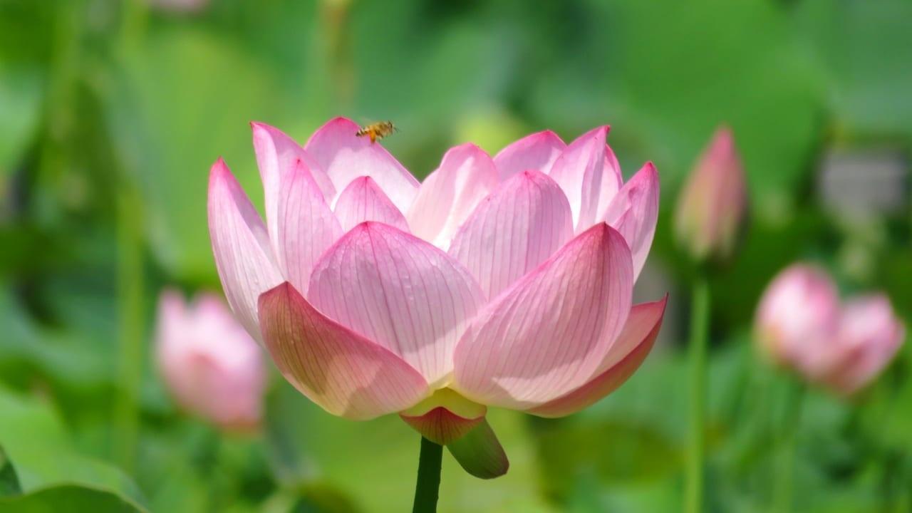 花菜ガーデンで蓮の花が見頃を迎えています