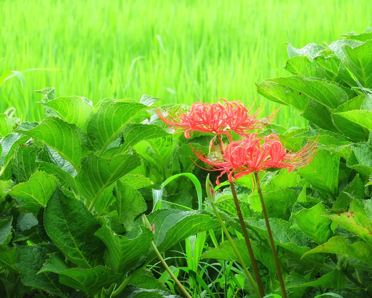 早くも秋の気配?「花菜ガーデン」で彼岸花が咲いています!
