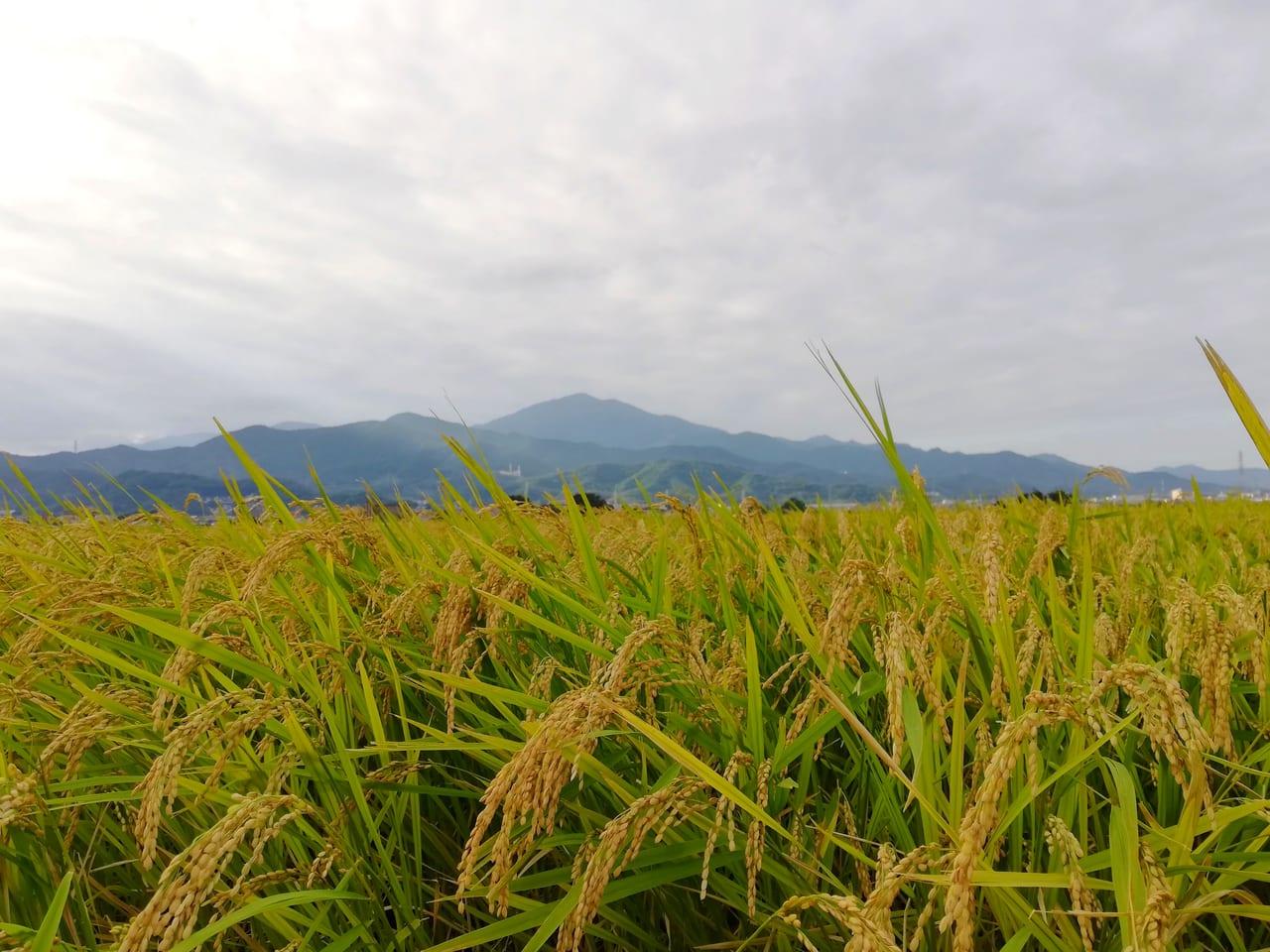 稲刈りシーズン到来!平塚の田んぼは黄金色に輝いています!