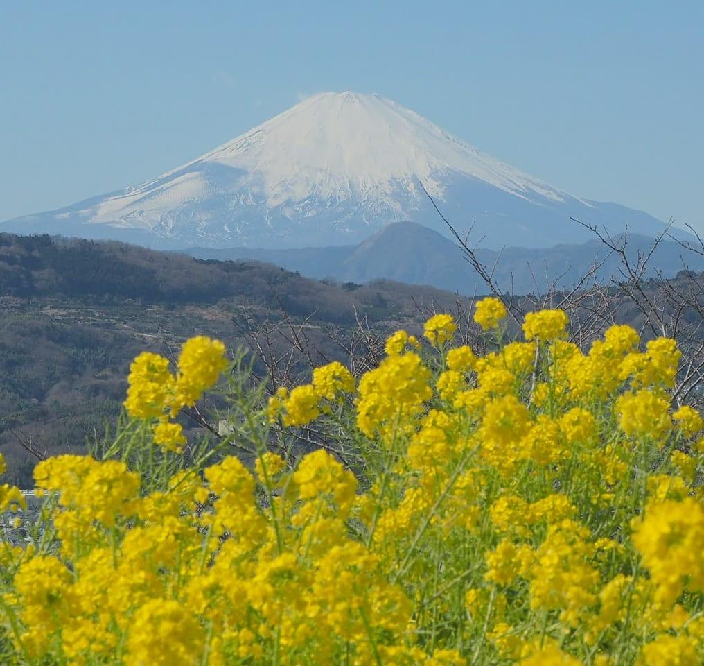 吾妻山「菜の花ウォッチング」が2021年1月9日(土)から開催されます!