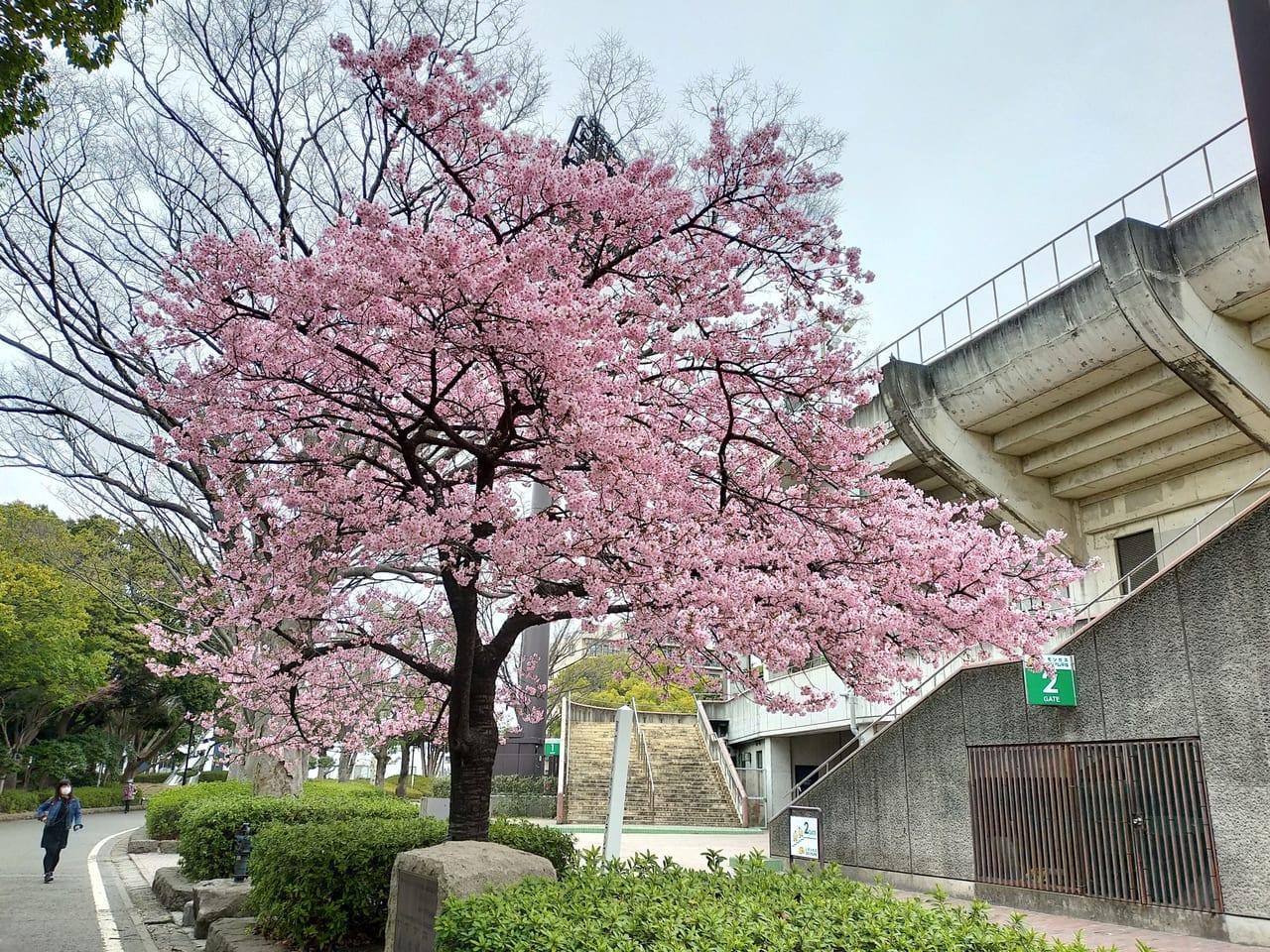 平塚市総合公園では、早咲きの桜、河津桜と玉縄桜が満開!桜リレーの二番手、寒緋桜や大島桜も開花し始めました!