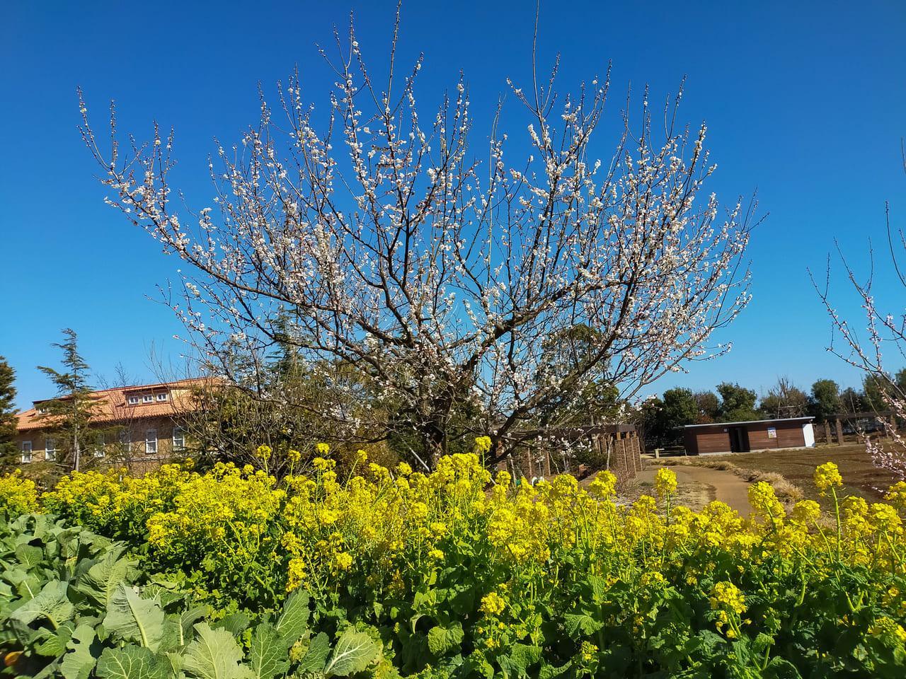 花菜ガーデンで菜の花と梅の花が見頃を迎えています!