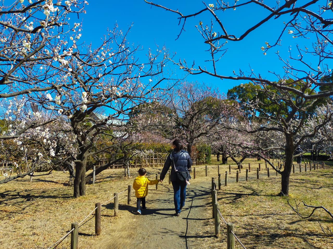 平塚市総合公園の梅がもうすぐ見頃!早咲きの桜も開花し始めました!
